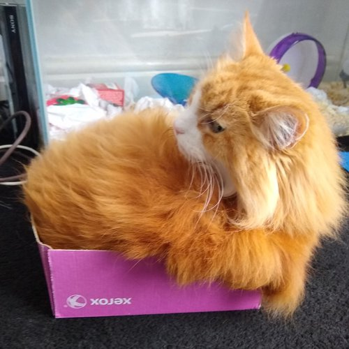 Ginger in A4 Paper Box Lid