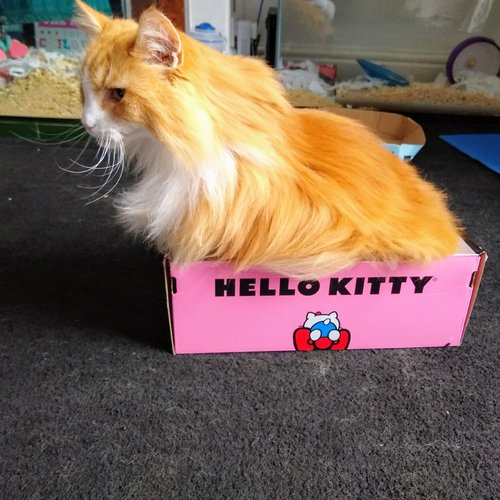 Ginger in Hello Kitty Box