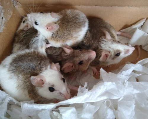 Multimammate Mice (African Soft Furred Rats in Bed